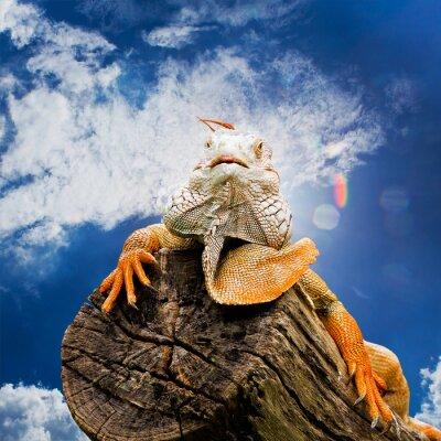 Fototapeta Portret makro na głowie iguana
