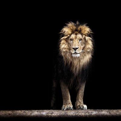 Fototapeta Portret pięknej lew, lew w ciemności