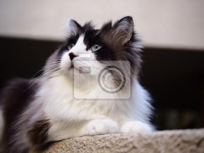 Portret Regal Przystojny Brązowy Bi Kolor Długowłosy Kot Ragdoll