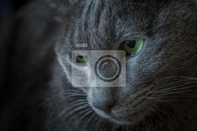 Portret Smutny Kot Rasy Rosyjski Niebieski Fototapeta Fototapety