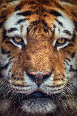 Fototapeta Portret Tiger