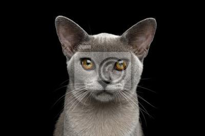 Portret Uroczy Błękitny Birmański Kot Z Niezwykłymi Oczami