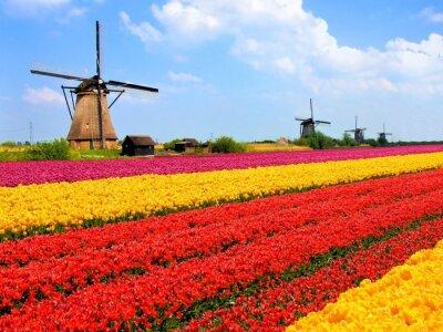 Fototapeta Prężny pola tulipanów z wiatrakami, Holandii