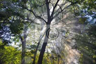 Fototapeta Promienie słoneczne Penetracja gęsty las mgła