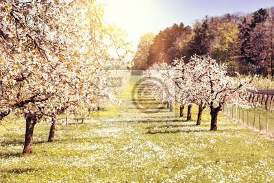 Fototapeta Przebudzenie wiosny drzewa owocowe