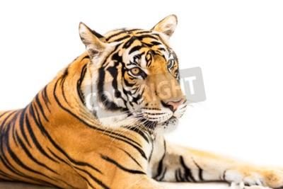 Fototapeta Przyczajony tygrys syberyjski młody na białym tle