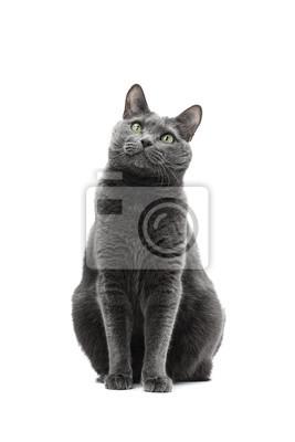 Przystojny Szary Kot Rasy Rosyjski Niebieski Siedzi I Starannie