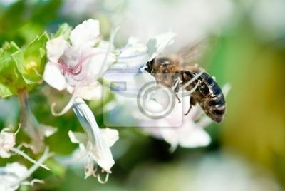 Fototapeta Pszczoła i białe kwiaty