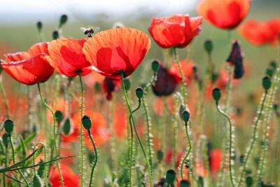 Fototapeta Pszczoła i maku kwiaty wiosna