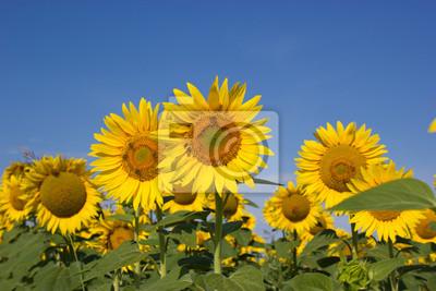 Fototapeta Pszczoły zapylają słoneczniki