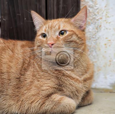 Pulchny Czerwony Kot Leży Fototapeta Fototapety Smutny Zima Dom