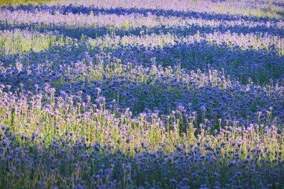 Fototapeta Purpurowy Kwiat pole