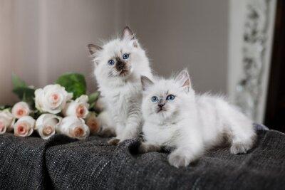 Fototapeta Ragdoll Blue Point mały kotek
