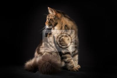 Rasowy Kot Maine Coon Samodzielnie Na Czarnym Tle Fototapeta