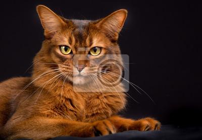 Rasowy Kot Somalijski Fototapeta Fototapety Kot Domowy Somalijski