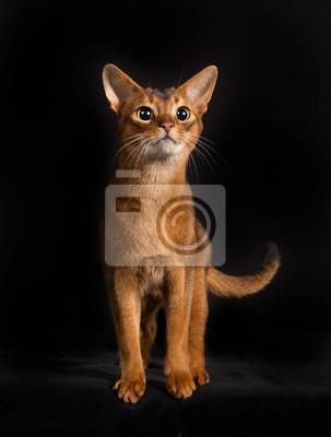 Rasowy Kot Somalijski Samodzielnie Na Czarnym Tle Fototapeta
