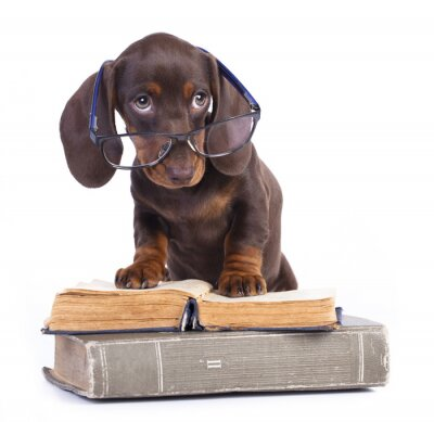 Fototapeta rasowy pies jamnik w okularach i książki