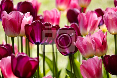 Fototapeta red and pink tulip flowers