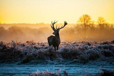 Fototapeta Red Deer