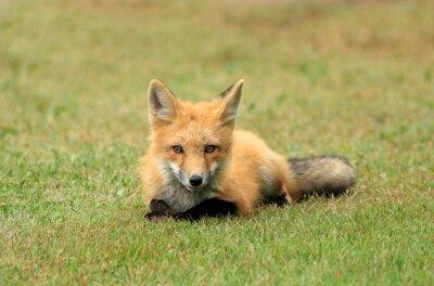 Fototapeta Red Fox Kit Pozowanie na łące trawy, PEI, Kanada