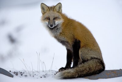 Fototapeta Red Fox odpoczywa