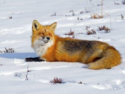 Fototapeta Red Fox Opalanie w śniegu