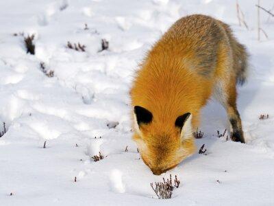 Fototapeta Red Fox twarz w śniegu