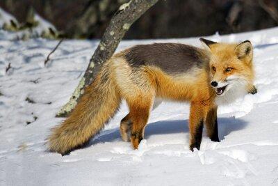 Fototapeta Red Fox w śniegu