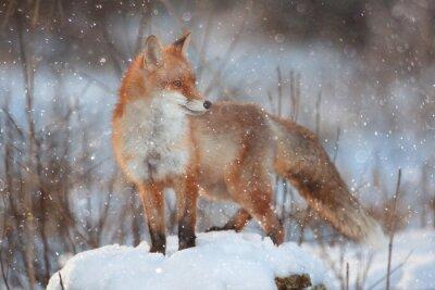 Fototapeta Red Fox w zimowym lesie Dość