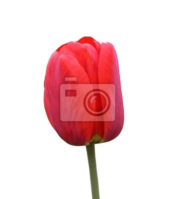 Fototapeta red Tulip isolated on white background