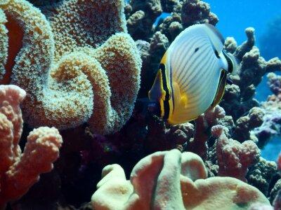 Fototapeta Redfin butterflyfish (Chaetodon lunuqlatus)