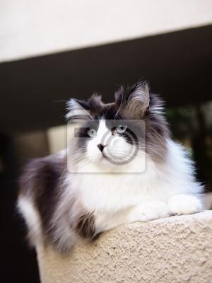 Regal Przystojny Brązowy Bi Kolor Długowłosy Kot Ragdoll Z