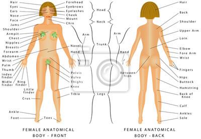 8ea1776c979f22 Fototapeta Regiony kobiecego ciała. Kobiece ciało - z przodu iz tyłu.  Kobieta Human Body