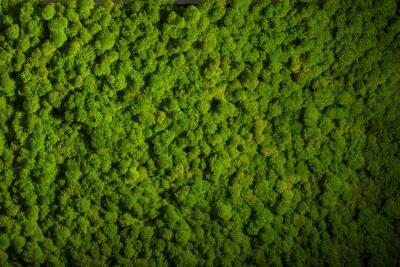 Renifery Mech Sciany Zielone Sciany Dekoracji Porosty Cladonia