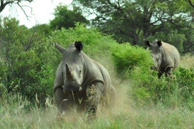 Fototapeta Rhino ładowania