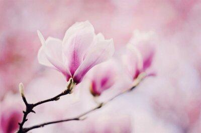 Fototapeta rosa magnolie