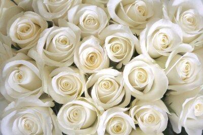 Fototapeta Róże białe tło