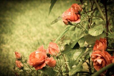 Fototapeta Róże w ogrodzie. Stare stylizowany wizerunek.