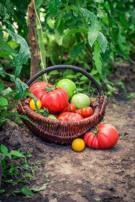 Fototapeta Różne pomidory na ziemi