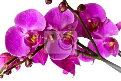 Różowa orchidea.