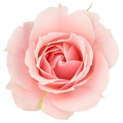 Fototapeta Różowa róża z bliska, odizolowane na białym