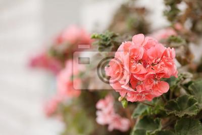 Fototapeta różowe geranium