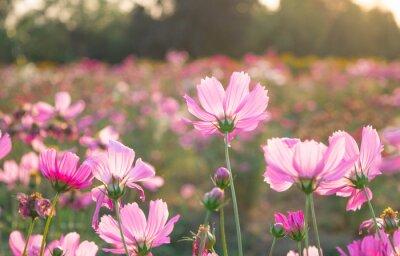 Fototapeta Różowe polne kwiaty łąki na polu.