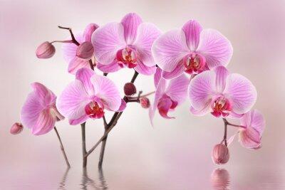Fototapeta Różowe storczyki kwiat tła projektowania