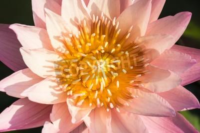 Fototapeta Różowy kwiat lotosu w stawie wody, Tajlandia