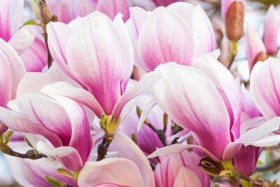 Fototapeta różowy kwiat magnolii