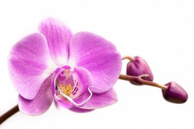 Fototapeta Różowy kwiat orchidei na białym tle. Orchid kwiat samodzielnie.
