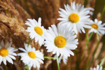 Fototapeta Rumianek w brązowej trawie