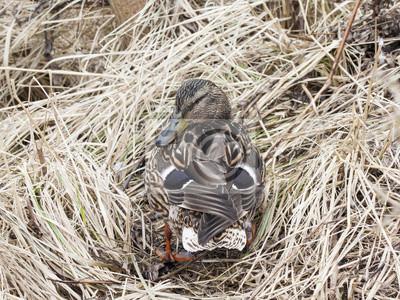 Fototapeta Samica Kaczki Krzyżówka Siedzi Na Starej Trawie Wczesną Wiosną