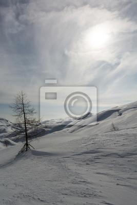 Fototapeta Samotne drzewo sosnowe na śniegu
